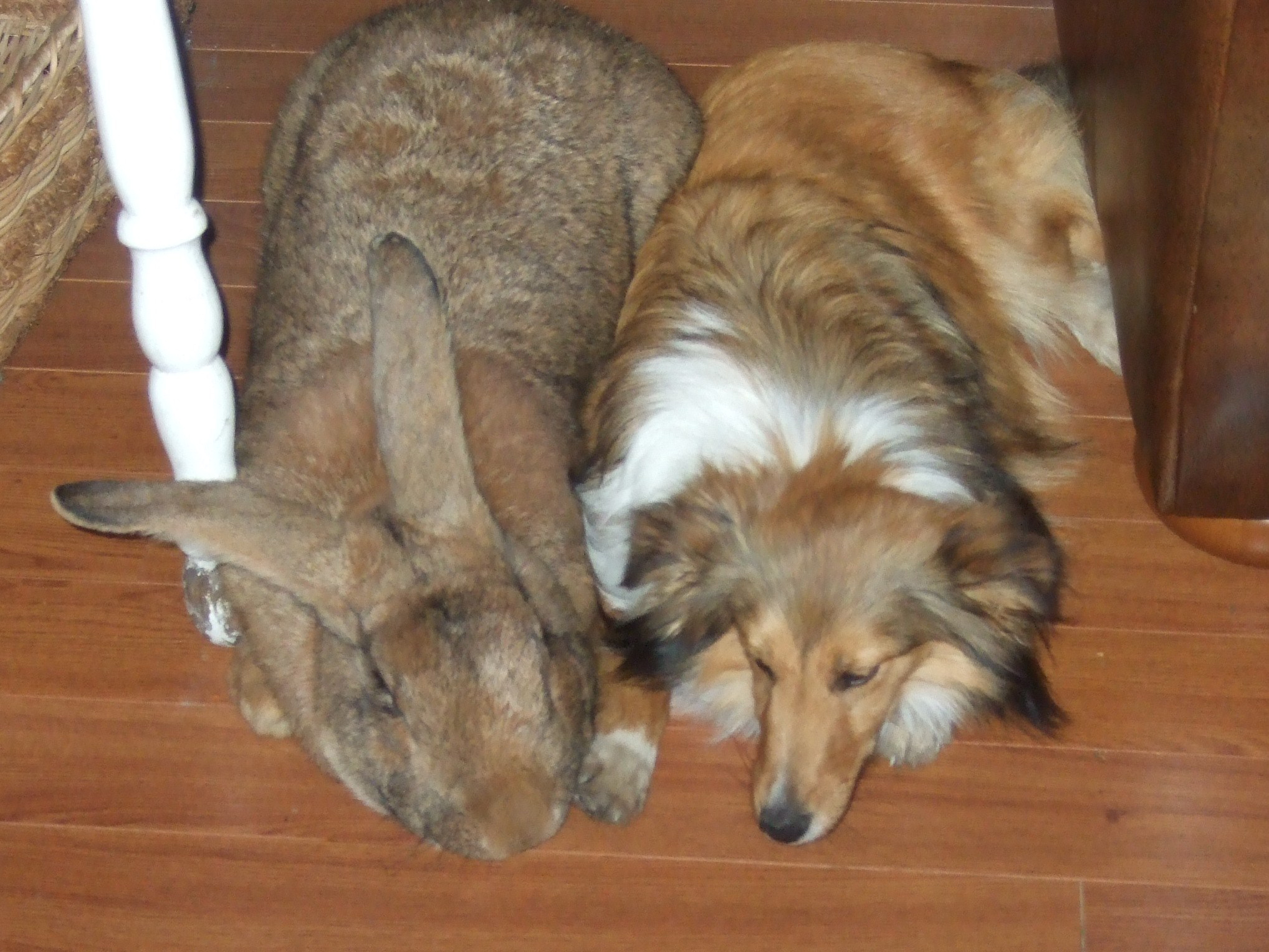 Do Giant Rabbits Make Great Pets How Long Do They Live
