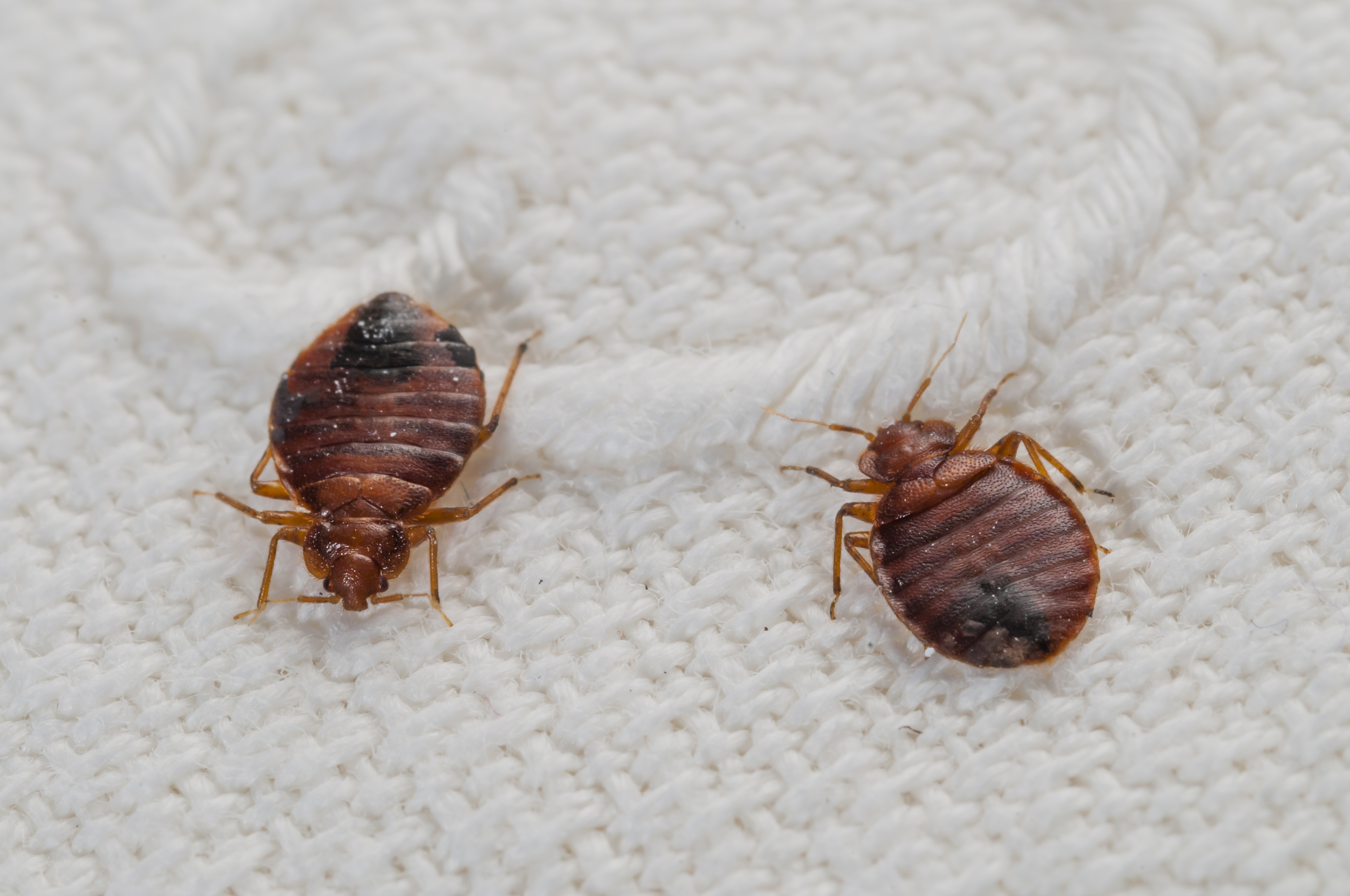 How To Get Rid Of Bed Bugs After Travel