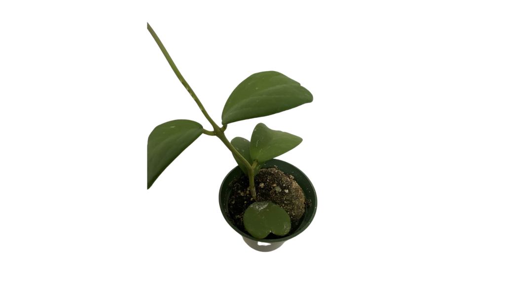 California Tropicals best winter indoor plants