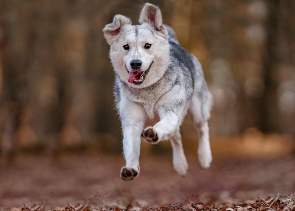 Siberian husky mix