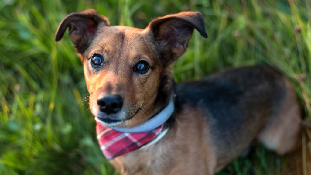 Dachshund mix dog with bandana