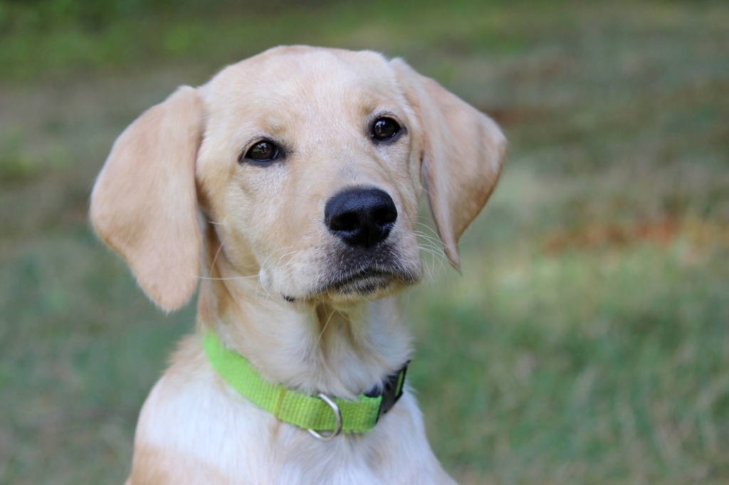 Yellow lab mixed breed dog