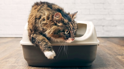 Tabby cat getting out of litter box
