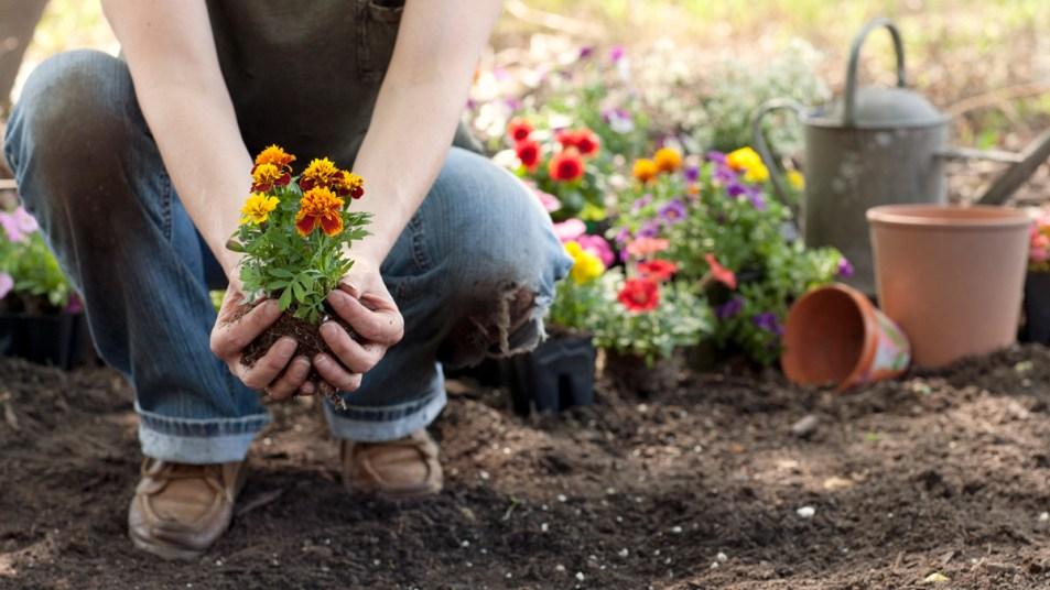 Woman planting marigolds