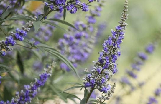 Vitex, Texas Lilac Tree has Lavender Purple Flowers