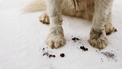 dog muddy paws