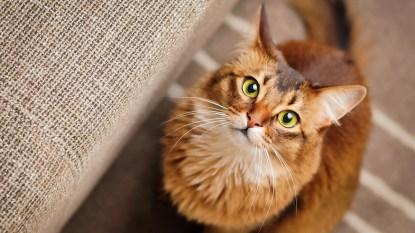 Cat staring at camera