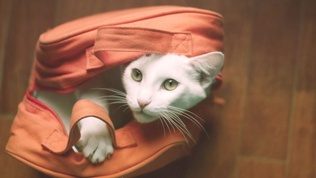 White cat in orange bag