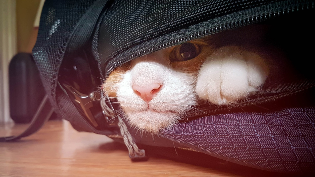 Cat's face poking out of backpack