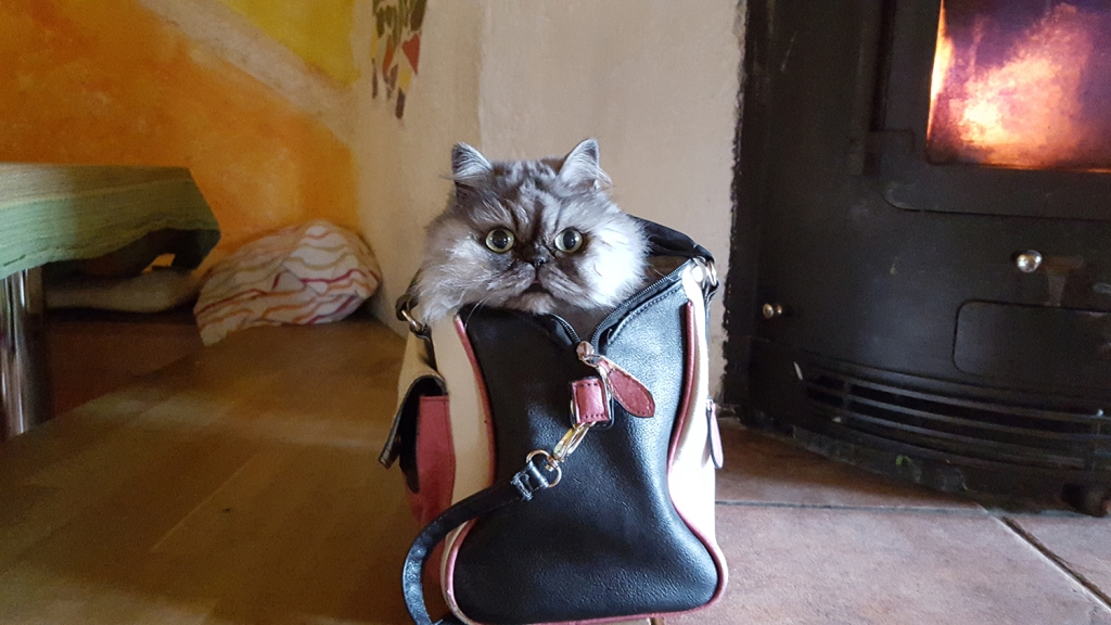 Fluffy gray cat poking out of purse