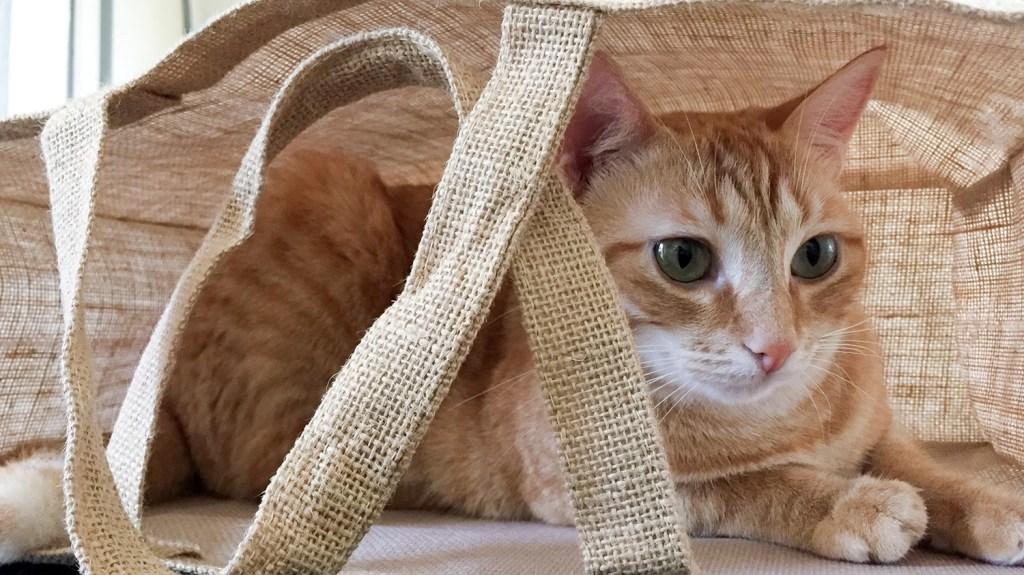 Orange cat in a reusable grocery bag