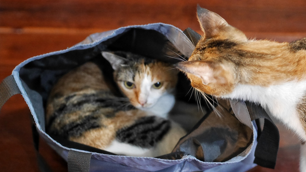Cat staring at another cat in a tote bag