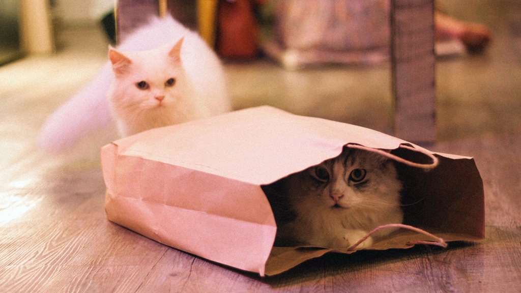 Fluffy white cat walking toward a paper bag with another fluffy cat inside