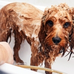 Curly haired dog looking sad in a bath