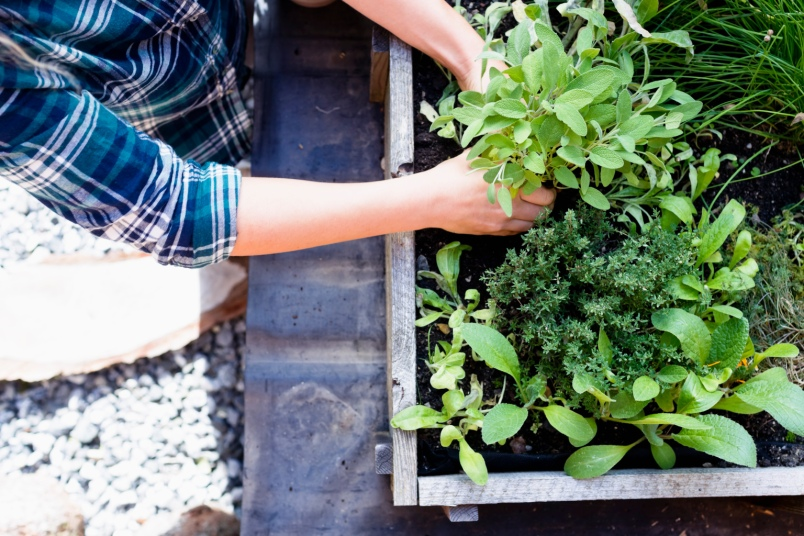 Woman planting herbs in herb garden, high angle