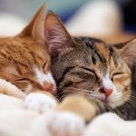 A ginger cat snuggling a tabby cat