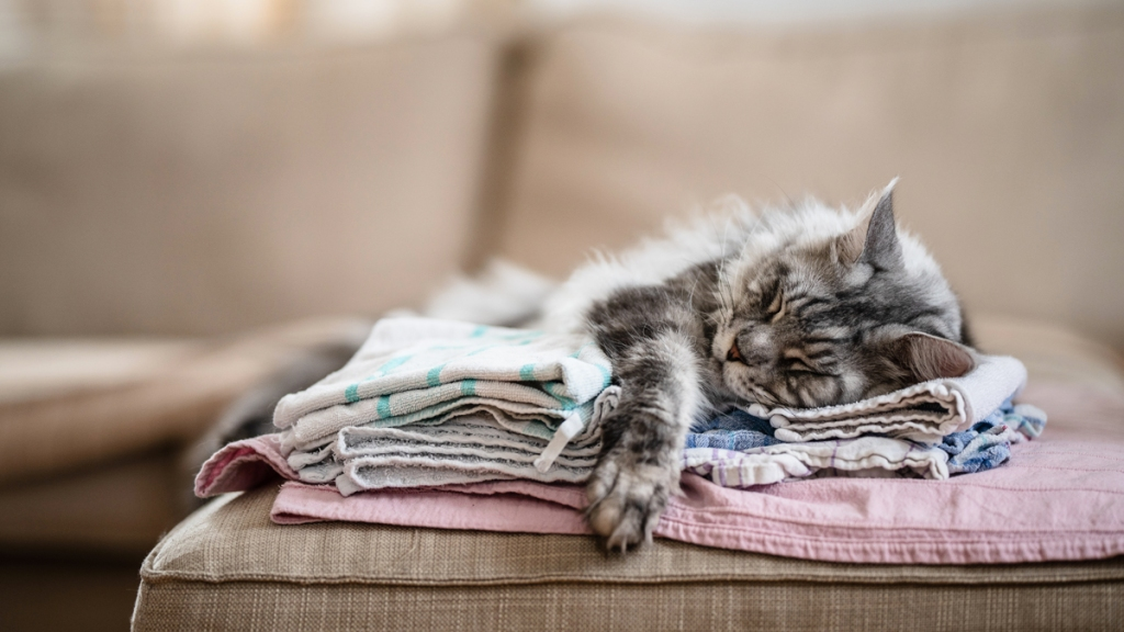 Fluffy gray cat asleep on folded tea towels