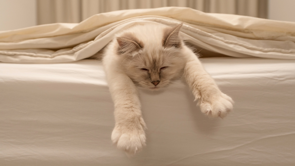 Sleeping white cat reaching paws out of white bed linen