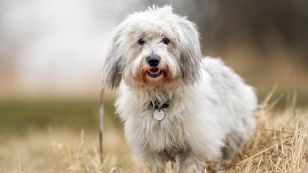 12 Adorably Fluffy Dogs That Don't Shed
