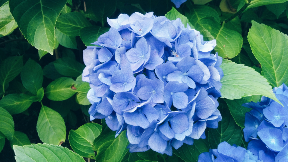 hydrangea-root-inflammation-kidneys