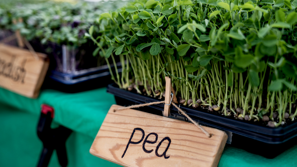 This Delicious Microgreen Can Reduce Your Risk of Heart Disease, Fight Inflammation, and Tame Allergies