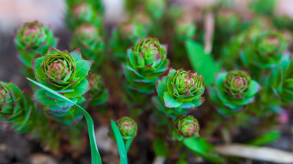 rhodiola-brain-health-diabetes