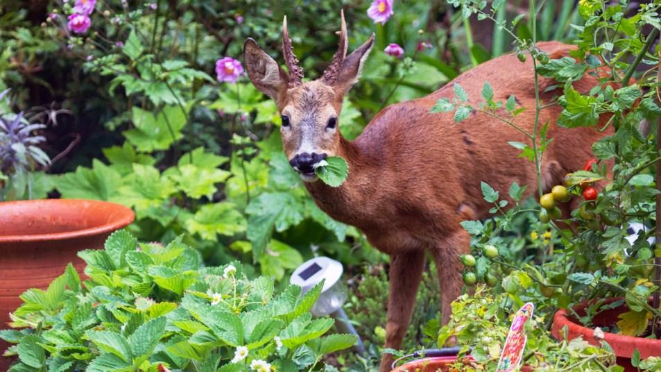 Deer eating garden plants