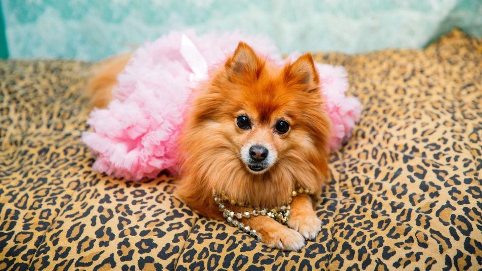 dog in a tutu